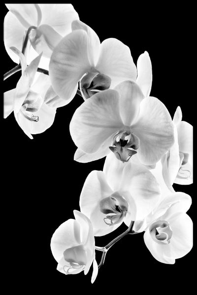 Phalaenopsis Orchid Poster