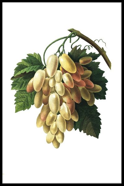 Grapes Illustration Poster
