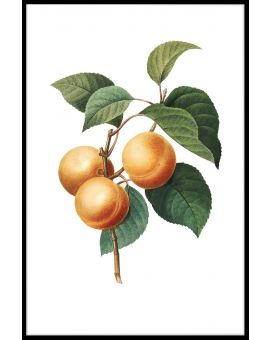 Vintage Apricot Illustration Poster