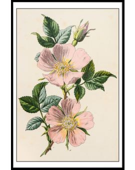 Rosa Canina Illustration Poster